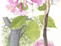 Acuarela Lapacho rosado - Arq. Javier Lage